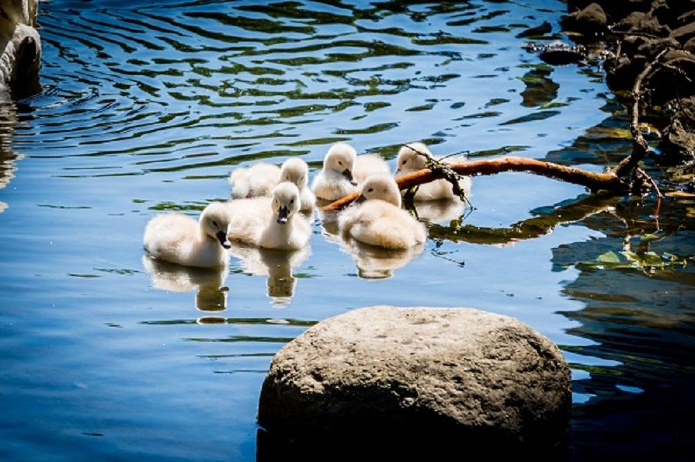 2018_06_04 - Arboretum Lakes Swans-0075-075